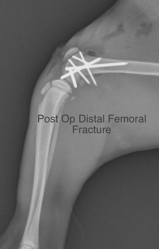 Surgical Repair of Distal Femoral Physeal Fractures in the Dog and Cat